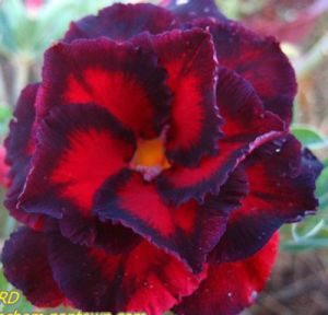 Adenium 'Black Bird'