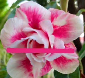 Adenium 'Pretty Girl'