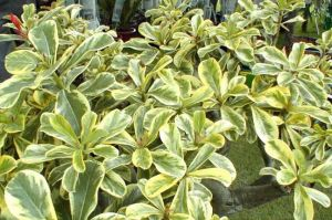 Adenium 'Super Yellow Leaf'