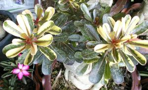 Adenium 'Super Yellow Maple Leaf'