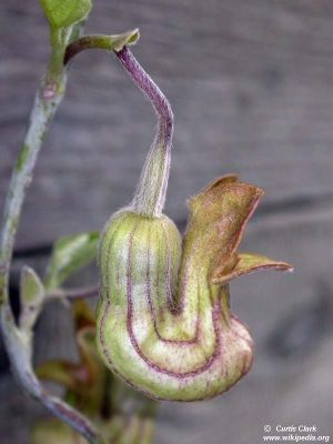 Aristolochia californica