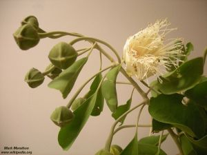Capparis mitchellii