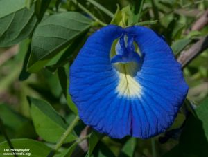 Clitoria sp. (Mix)