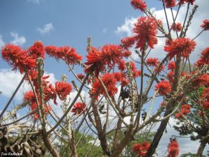 Erythrina abyssinica