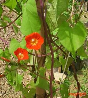 Ipomoea coccinea 'Orange Noah'