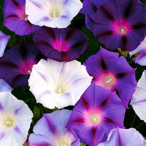 Ipomoea purpurea 'Hazelwood Blues'
