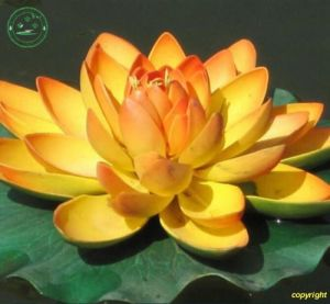 Nelumbo nucifera 'Golden'
