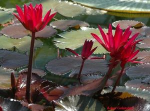 Nymphaea 'Red Flare'