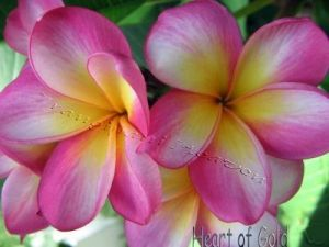 Plumeria 'Heart of Gold'
