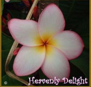 Plumeria 'Heavenly Delight'