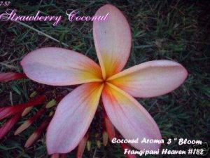 Plumeria 'Strawberry Coconut'