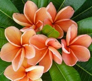 Plumeria 'Orange Bouquet'