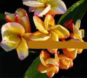 Plumeria 'Orange Rainbow'