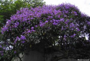 Tibouchina granulosa \'purple\'
