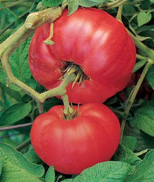 Tomate - Brandywine Red