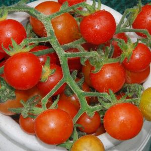 Tomate - Hawaiian Currant