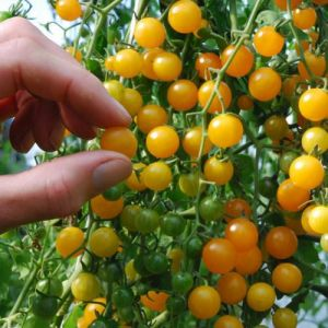 Tomate - Gold Rush Currant (Bio)