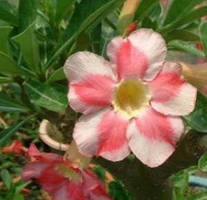 Adenium 'Beauty Cloud 2'