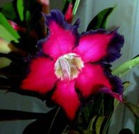 Adenium 'Black Ruby'