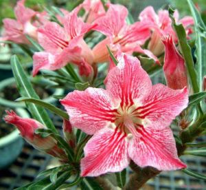Adenium 'Dance of Butterfly'