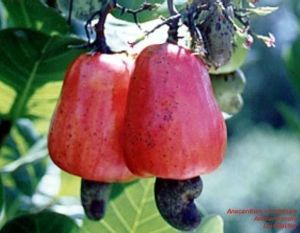 Anacardium occidentale 'red'