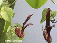 Aristolochia esperanzae minor