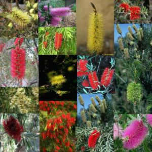Callistemon sp. 2 - Set