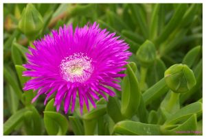 Carpobrotus quadrifidus 'purple'