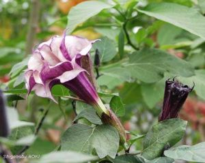 Datura metel 'Double Purple'
