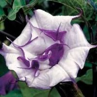 Datura metel 'Purple Queen'