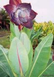 Ensete sp. (Kluay Pa)