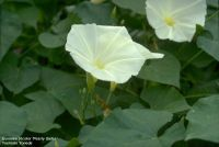 Ipomoea tricolor 'Pearly Gates'