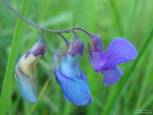 Lathyrus palustris