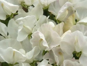 Lathyrus 'Royal Wedding'