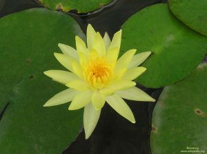 Nelumbo nucifera \'Yellow\'