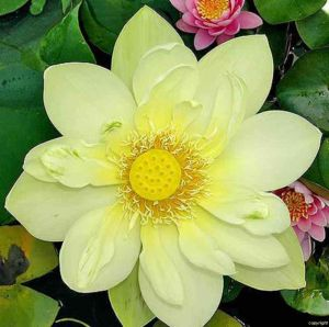 Nelumbo nucifera 'Yellow'