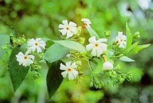 Nyctanthes arbor-tristis