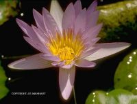 Nymphaea capensis 'pink'