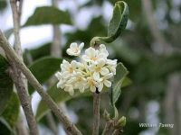 Osmanthus fragrans*