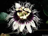 Passiflora edulis 'Black Beauty'