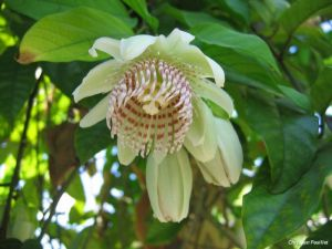 Passiflora nigradenia
