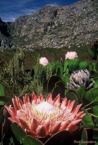 Protea cynaroides (Sommer)