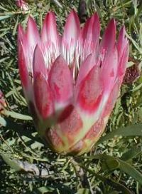 Protea repens red
