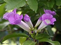 Mansoa alliacea