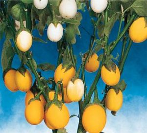 Solanum melongena 'Golden Eggs'