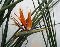 Strelitzia juncea orange thick leaves x self