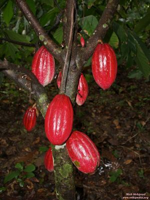 Theobroma cacao* (red)