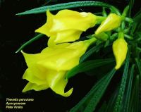 thevetia peruviana 39 yellow 39 seeds a z seeds t. Black Bedroom Furniture Sets. Home Design Ideas