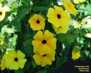 Thunbergia alata 'Yellow'