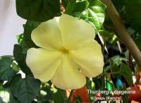 Thunbergia dregeana